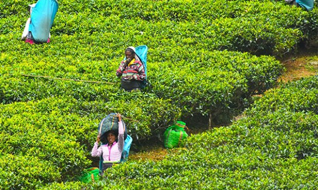 Ceylon Tea in a nutshell
