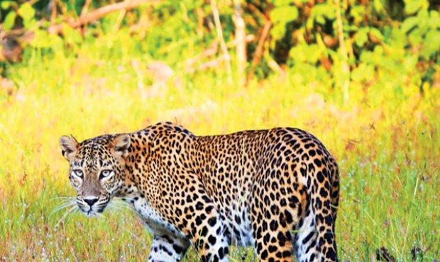 The Sri Lankan Leopards